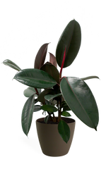 Ficus Burgundy Small