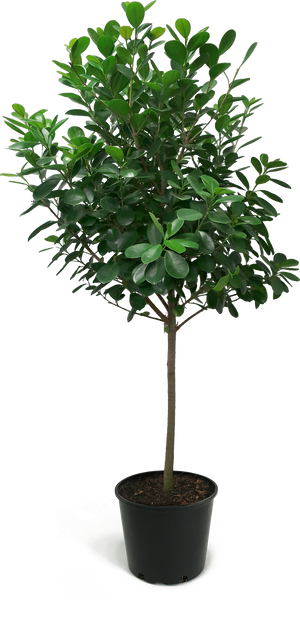 Ficus Moclame Large