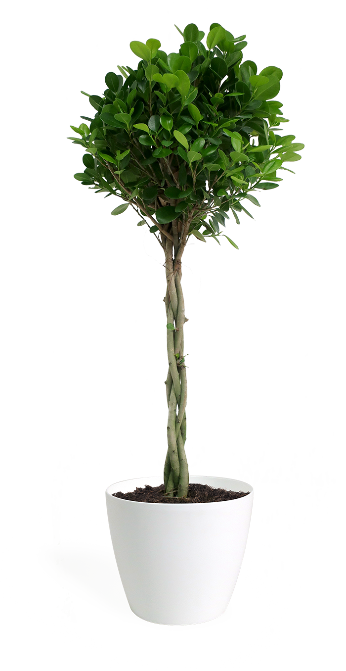 Ficus Moclame Braid Small