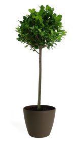 Ficus Moclame Std Small
