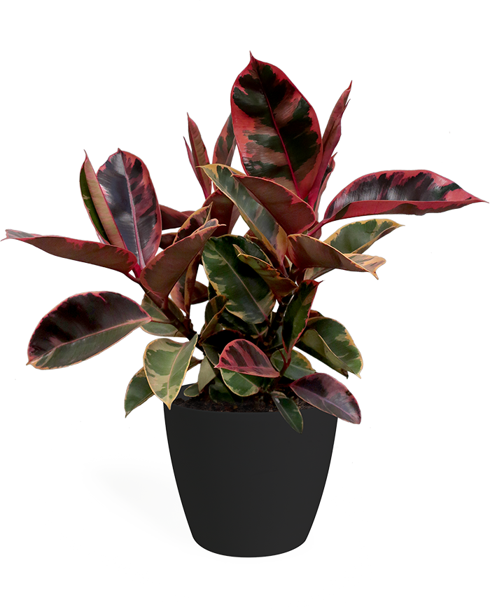 Ficus Ruby Large