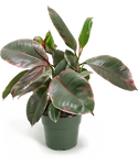 Ficus Ruby Small