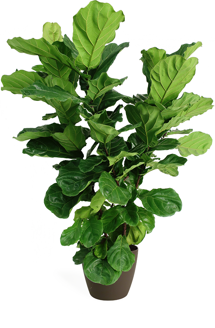 Ficus Lyrata Large Bush in Eva Latte