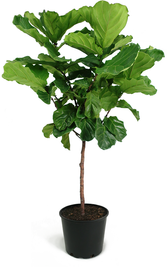 ficus lyrata standard houseplant large chelsea garden center. Black Bedroom Furniture Sets. Home Design Ideas