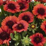 Gaillardia Spintop Red
