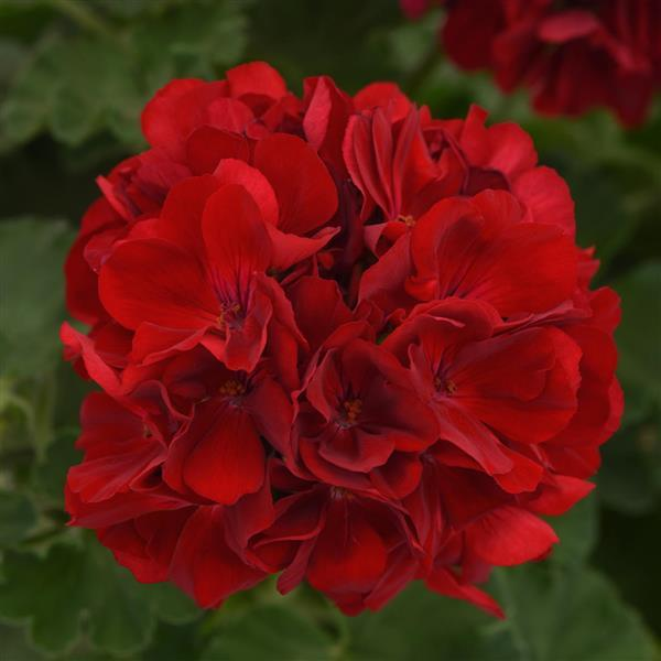 Geranium Dark Red Pack of 4
