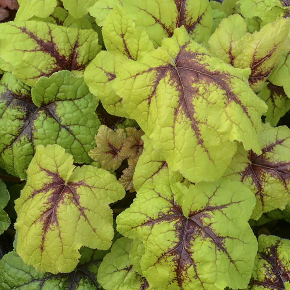 Heucherella Catching Fire