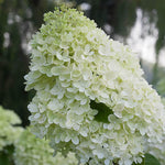 Hydrangea Limelight Tree Form