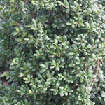 Ilex Chesapeake