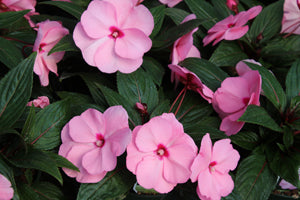 New Guinea Impatiens Soft Pink 4 Pack