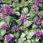 Lamium Red Nancy
