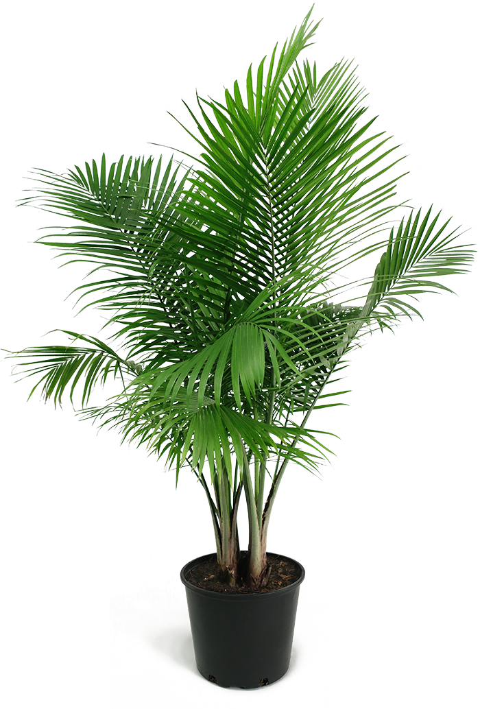 Majesty Palm Small