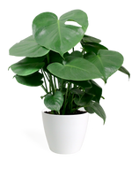 Monstera Deliciosa Small
