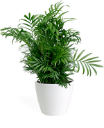 Neanthe Bella Palm Small