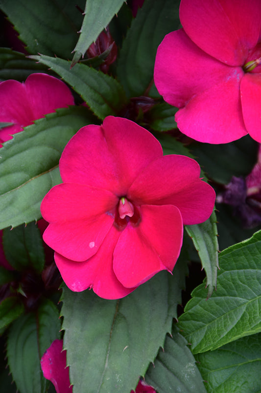 New Guinea Impatiens Bright Pink Pack of 4
