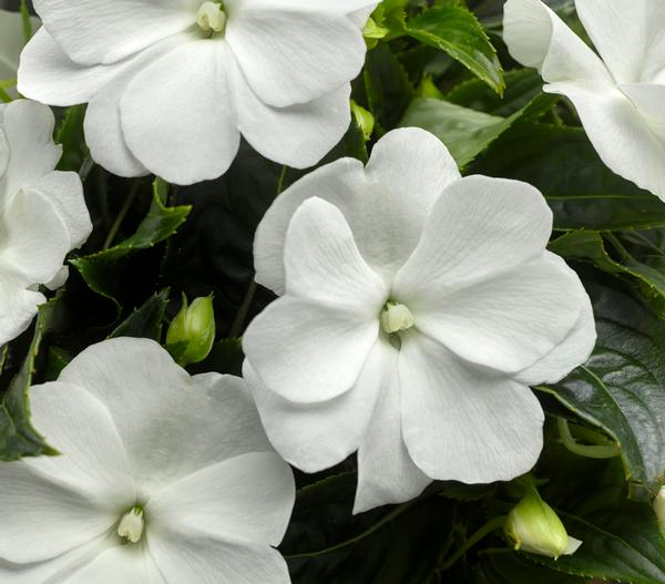 New Guinea Impatiens White 4 pack