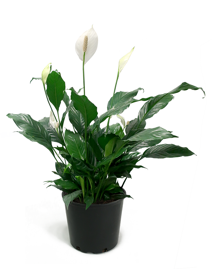Peace Lily Large