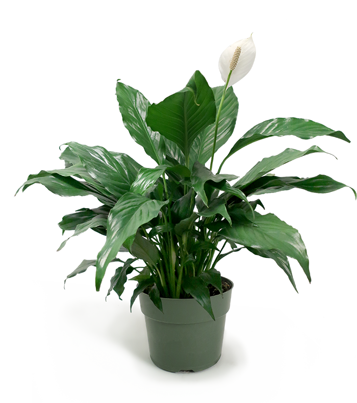 Peace Lily Small