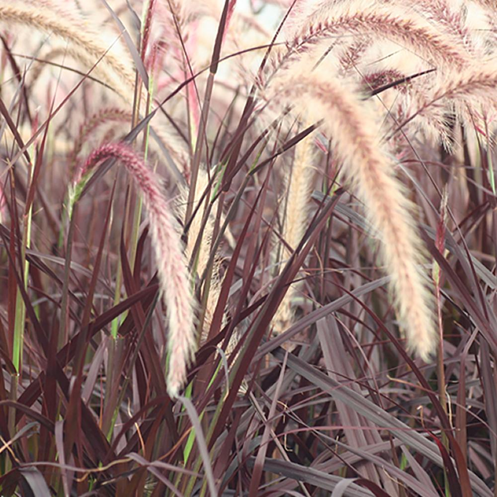 Purple Fountain Grass Pennisetum Rubrum