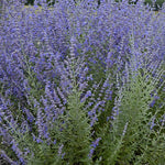 Perovskia Rocket Man or Russian Sage