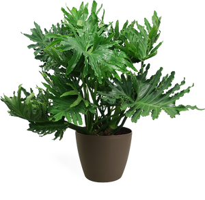 Philodendron Selloum Large
