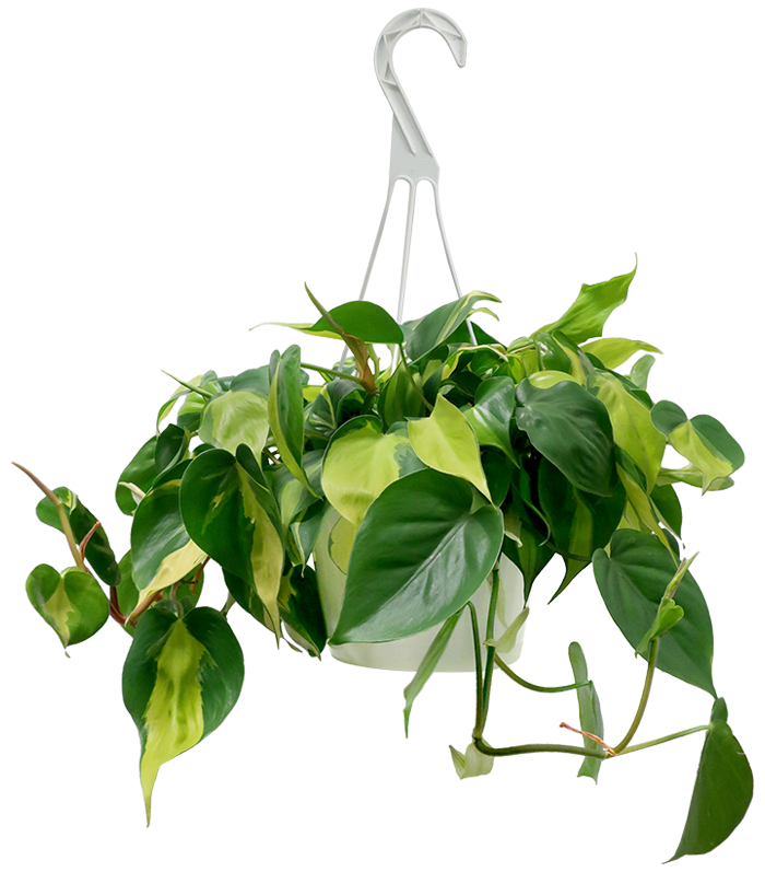 Philodendron Brazil Hanging Basket
