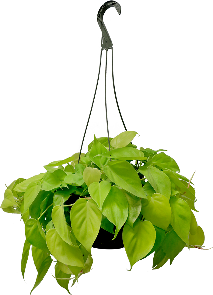 Philodendron Lemon Lime Hanging Basket Small