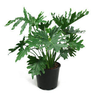 Philodendron Selloum Medium