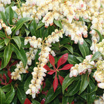 Pieris Mountain Fire (Andromeda)
