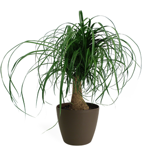 Ponytail Palm Medium
