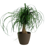 Ponytail Palm Large