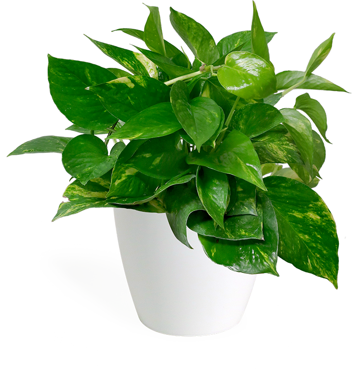 Golden Pothos Small