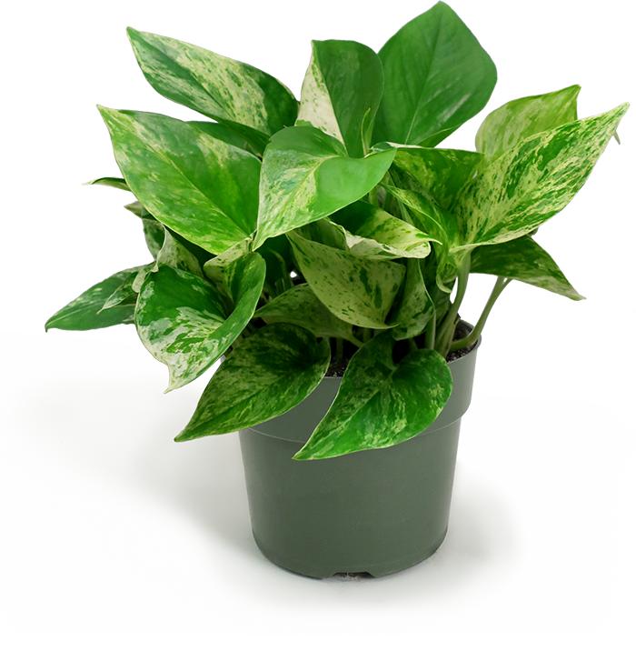 Pothos Marble Queen Small