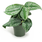 Silver Satin Pothos Small
