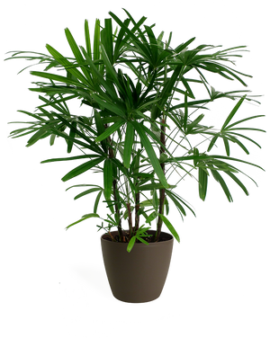 Rhapis Palm Medium