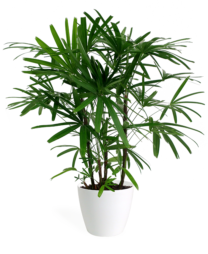 Rhapis Palm Large
