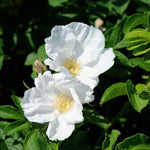 Rose Rugosa White Beach Rose