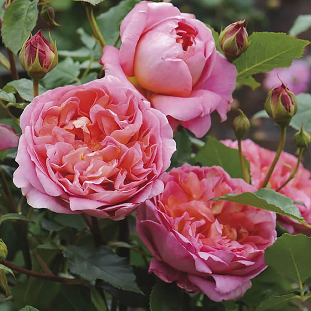 Rose DA Boscobel