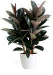 Ficus Burgundy Bush