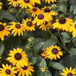 Rudbeckia Goldstrum