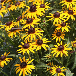 Rudbeckia Little Gold Star