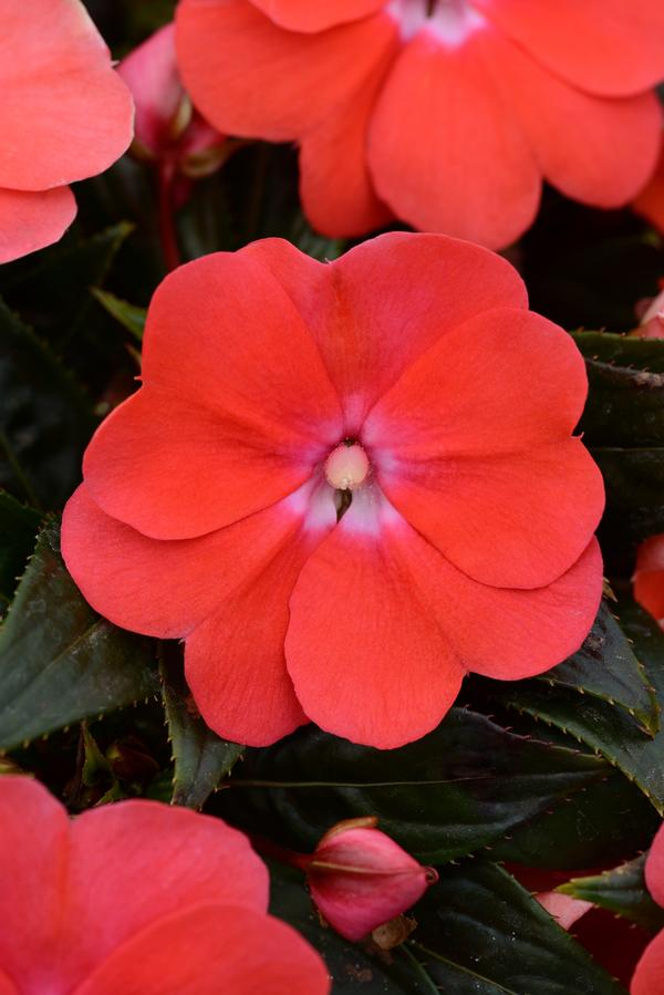 New Guinea Impatiens Bright Salmon Pack of 4