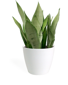 Sansevieria Moonshine Medium