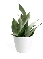 Sansevieria Moonshine Small