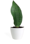 Sansevieria Whale Fin Small