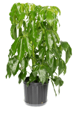 Schefflera Amate Medium