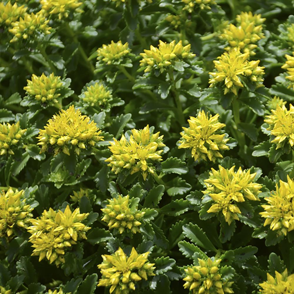 Sedum Little Miss Sunshine