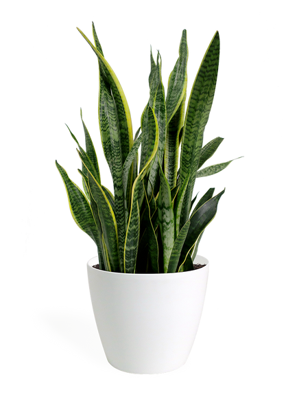 Sansevieria Laurentii Large Houseplant – Chelsea Garden Center