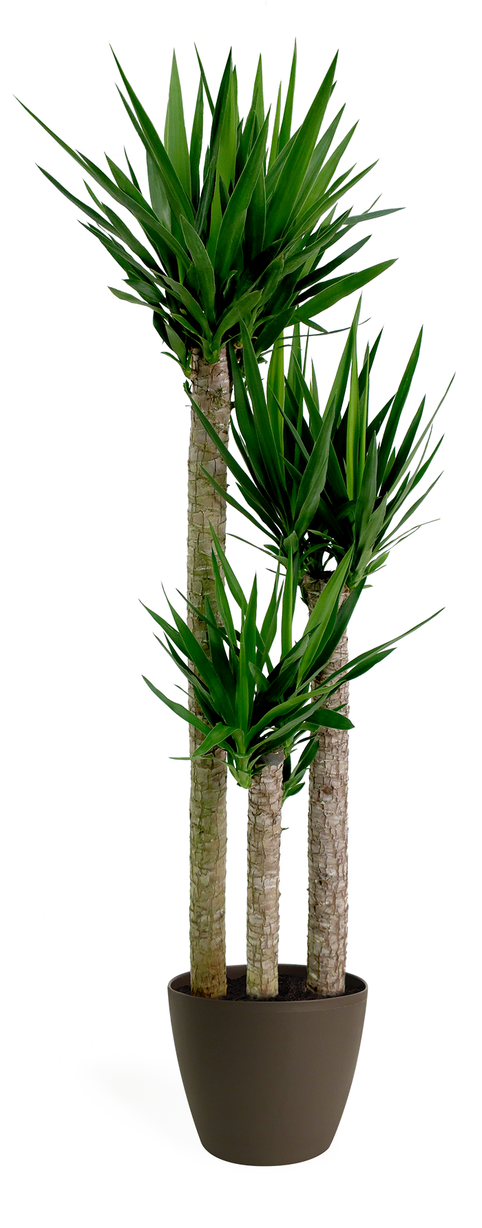 Yucca Cane Staggered Medium