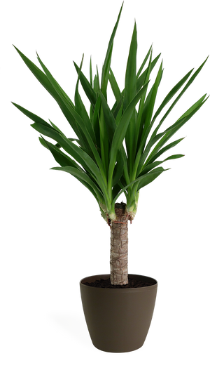Yucca Cane Small